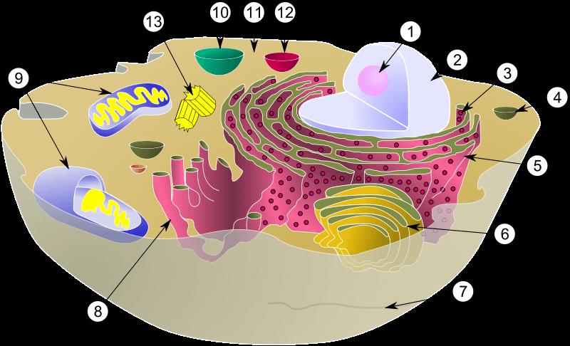 Estrutura E Fisiologia Celular Membrana Citoplasma E